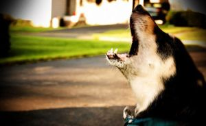 Cruel pet owners remove vocal cords to stop barking